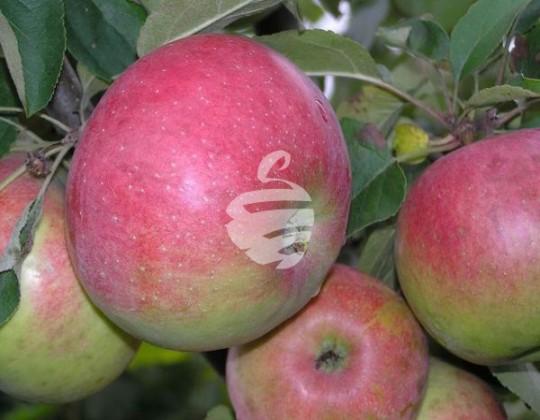 Խնձոր սիմիրենկո